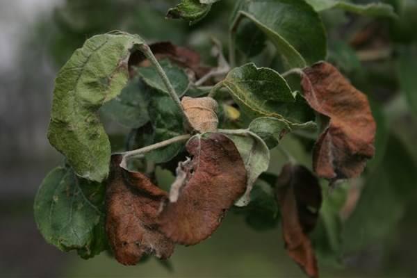 Почему желтеют листья на яблоне, разбираем причины и что делать