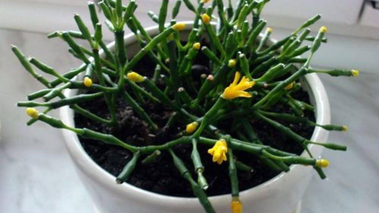 Хатиора (41 фото): уход за комнатным цветком в домашних условиях, цветение и размножение кактуса «танцующих костей» черенками, виды хатиора солеросовая и гермина