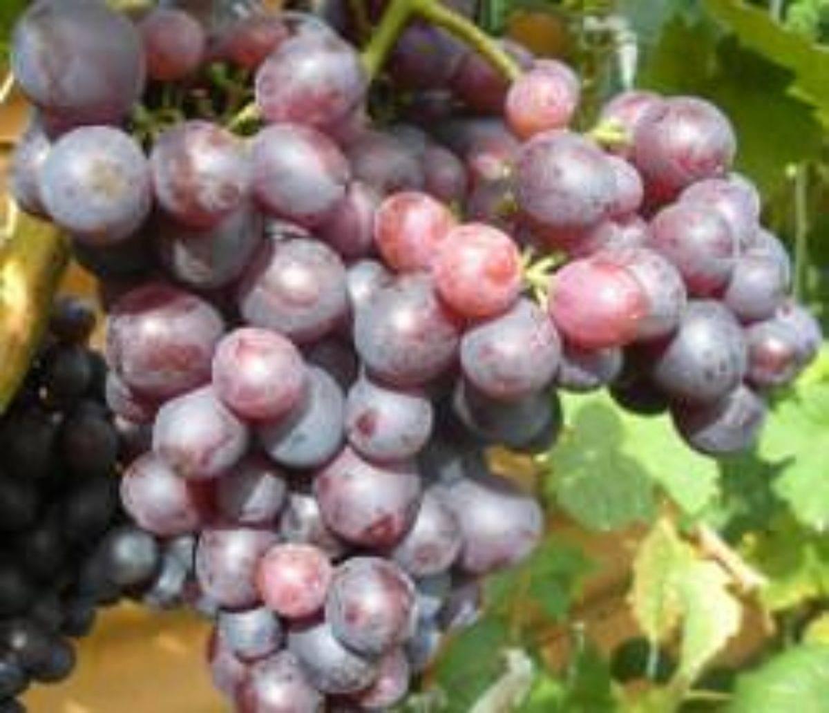 """Виноград """"краса никополя"""": подробное описание сорта и особенности ухода за ним"""