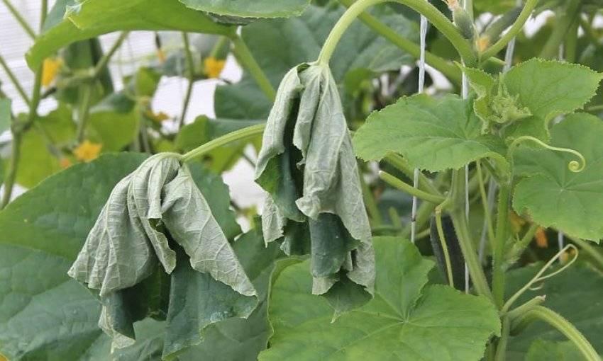 Почему вянут листья у огурцов в теплице и в открытом грунте? что делать?