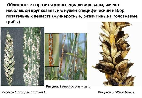 Грибы паразиты: примеры, названия, фото, описания