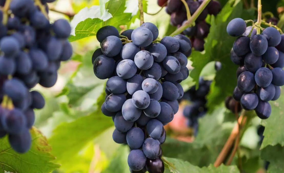 Выращивание винограда: советы новичкам