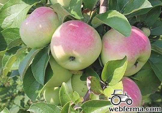 Яблоня имрус - описание сорта с фото, посадка и уход, отзывы