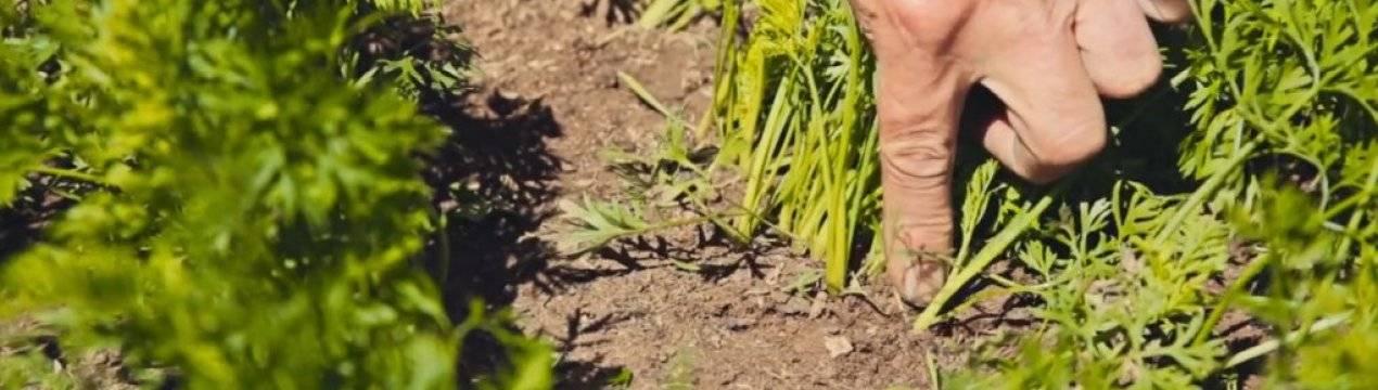 Как правильно прореживать морковь в открытом грунте? когда лучше это делать?