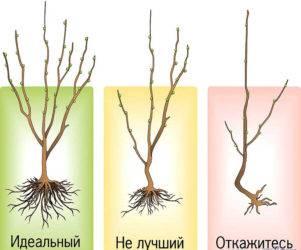 Посадка груши весной в разных регионах: пошаговое руководство | спутниковые технологии