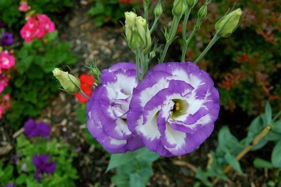Эустома – посадка и уход, выращивание из семян