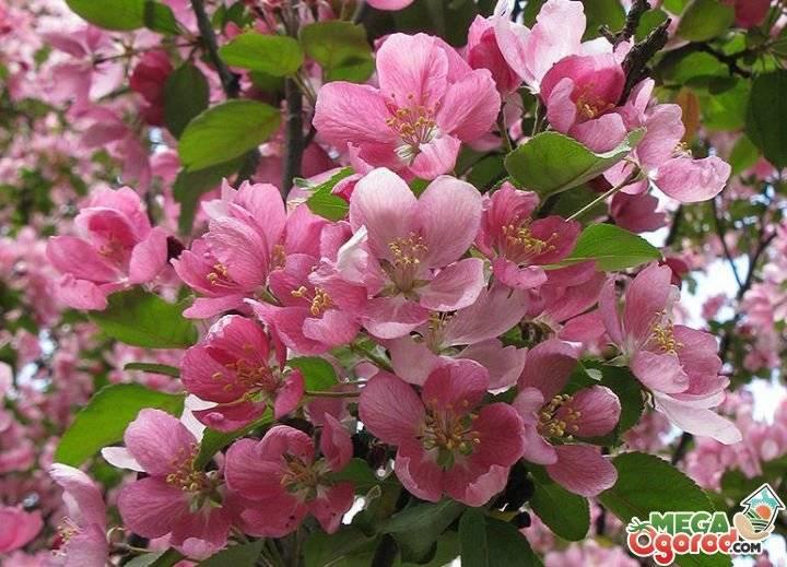 Декоративные яблони: сорта, фото, описание, посадка и уход