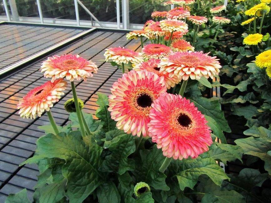 Цветок гербер садовый: выращивание из семян в домашних условиях, посадка и уход в саду