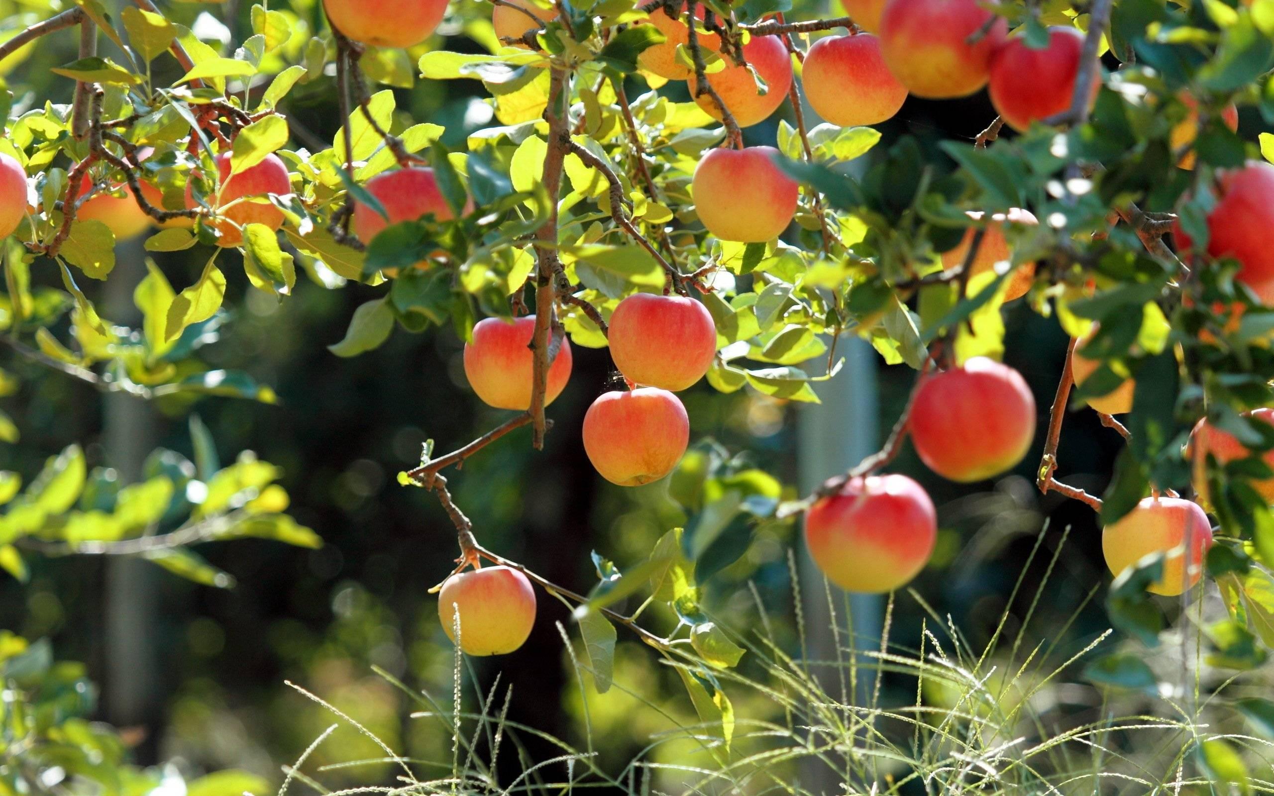 Парша на яблоне и груше: меры борьбы, способы профилактики и лечения