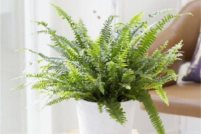 Папоротник комнатный: уход в домашних условиях за декоративным растением
