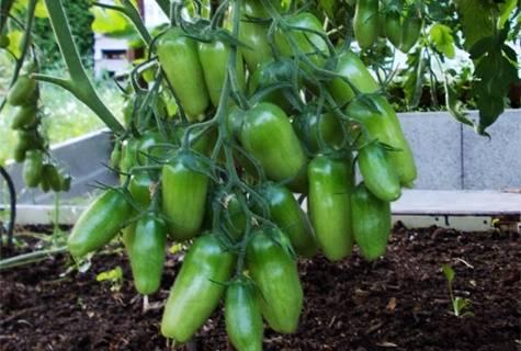 Описание, характеристика, посев на рассаду, подкормка, урожайность, фото, видео и самые распространенные болезни томатов сорта «алый мустанг».
