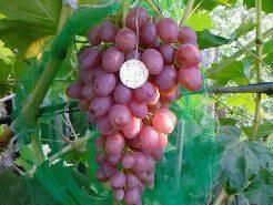 Сорт винограда кишмиш лучистый — описание, фото, отзывы.