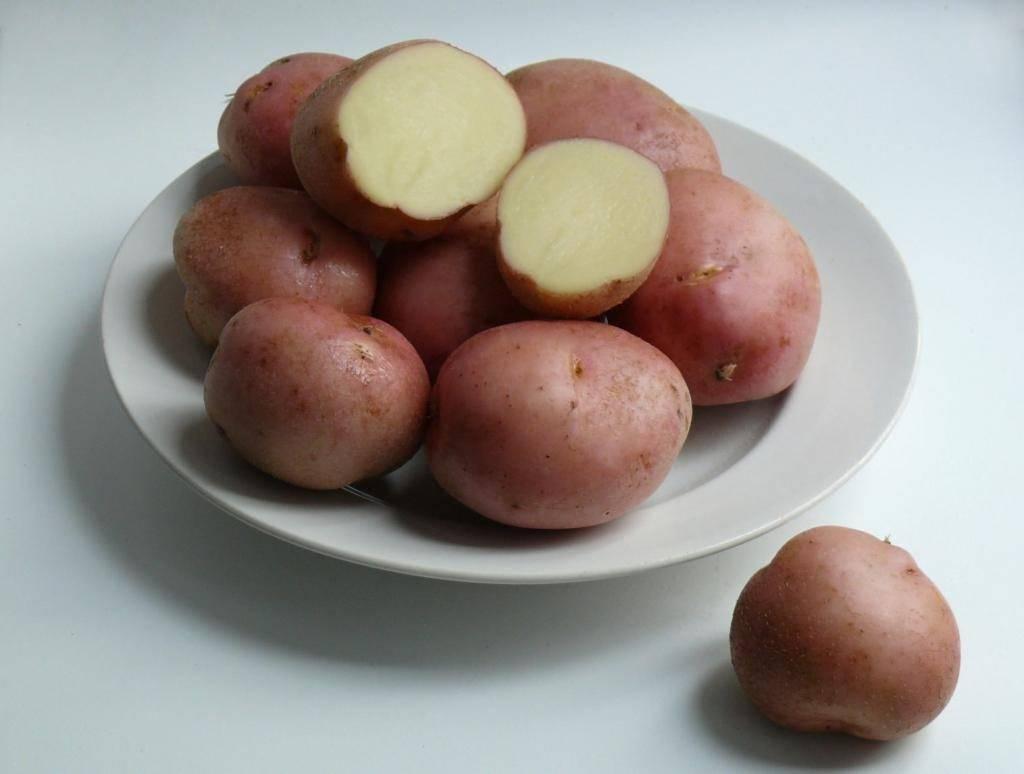 """Картофель """"романо"""" - описание сорта, фото, подробная характеристика семенной картошки русский фермер"""