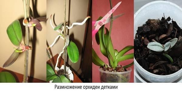 Орхидея камбрия: уход и содержание в домашних условиях