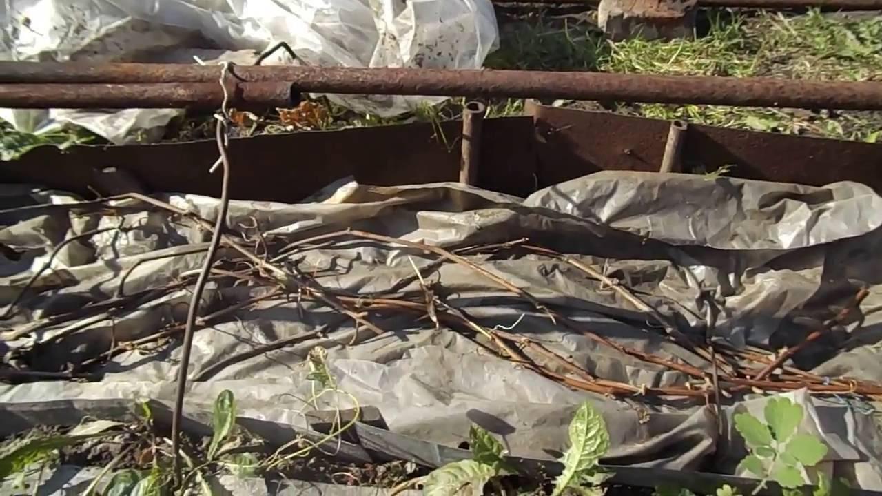 Как и когда укрывать виноград на зиму в Сибири