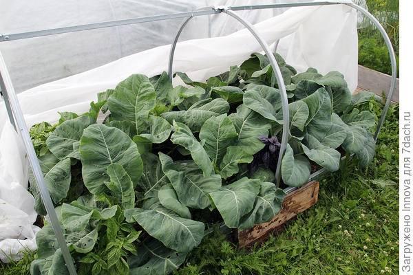 Почему не завязывается цветная капуста и как повлиять на увеличение урожая