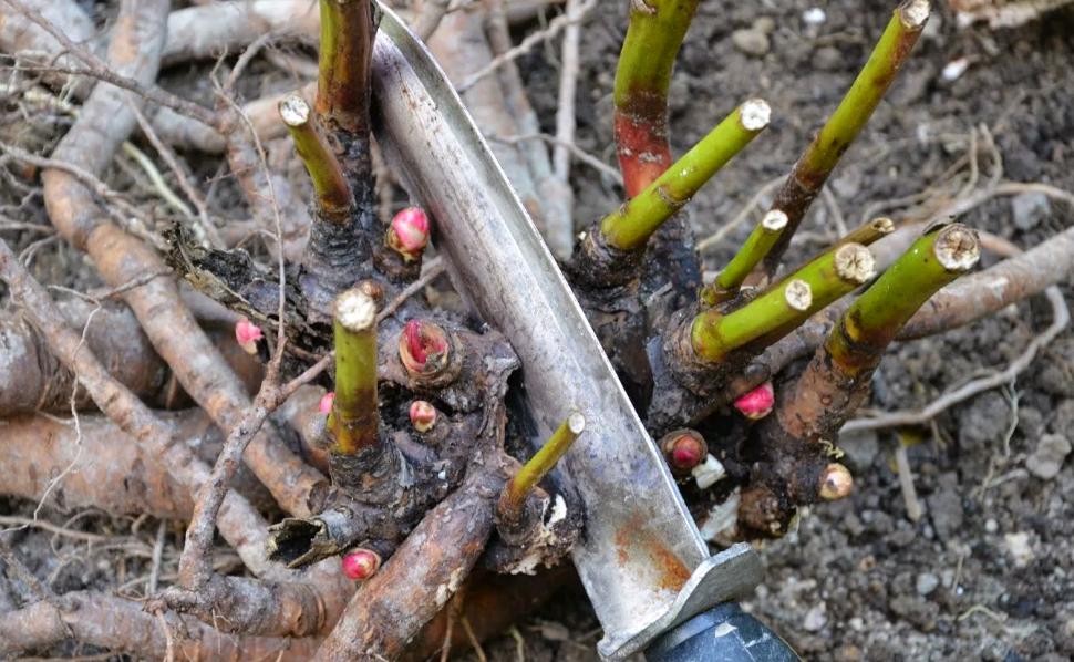 Когда обрезать пионы после цветения на зиму: советы, фото, видео