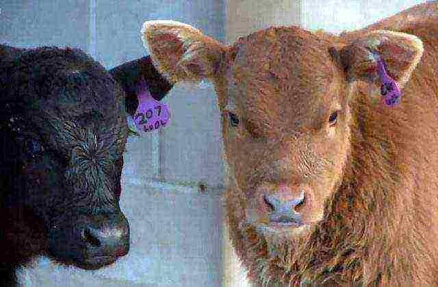 Разведение быков – особенности мясного скотоводства 2021