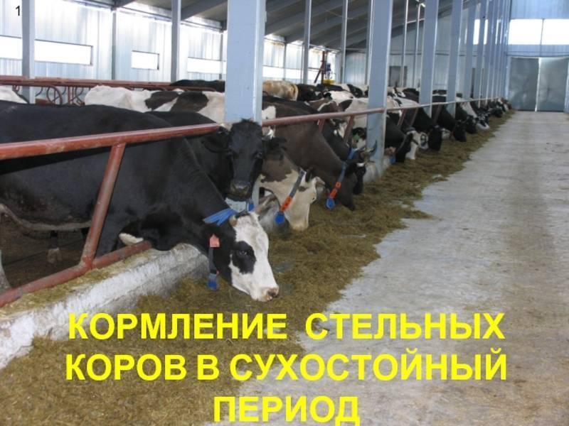 Рацион коров в период сухостоя, беременности и лактации