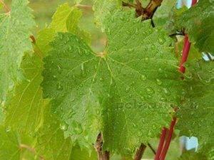 Листья красного винограда полезные свойства и противопоказания