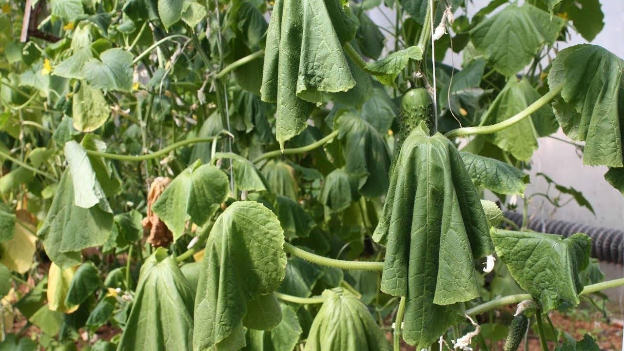У огурцов вянут листья: чем обработать