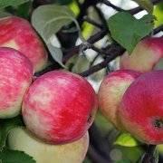 Секреты выращивания яблони сорта мечта