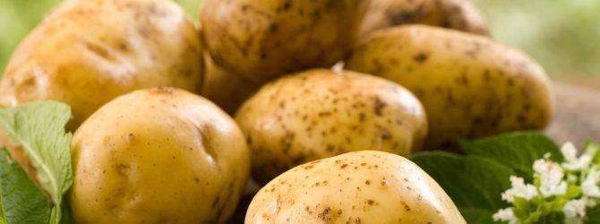 Большой и вкусный урожай с голландским картофелем романо