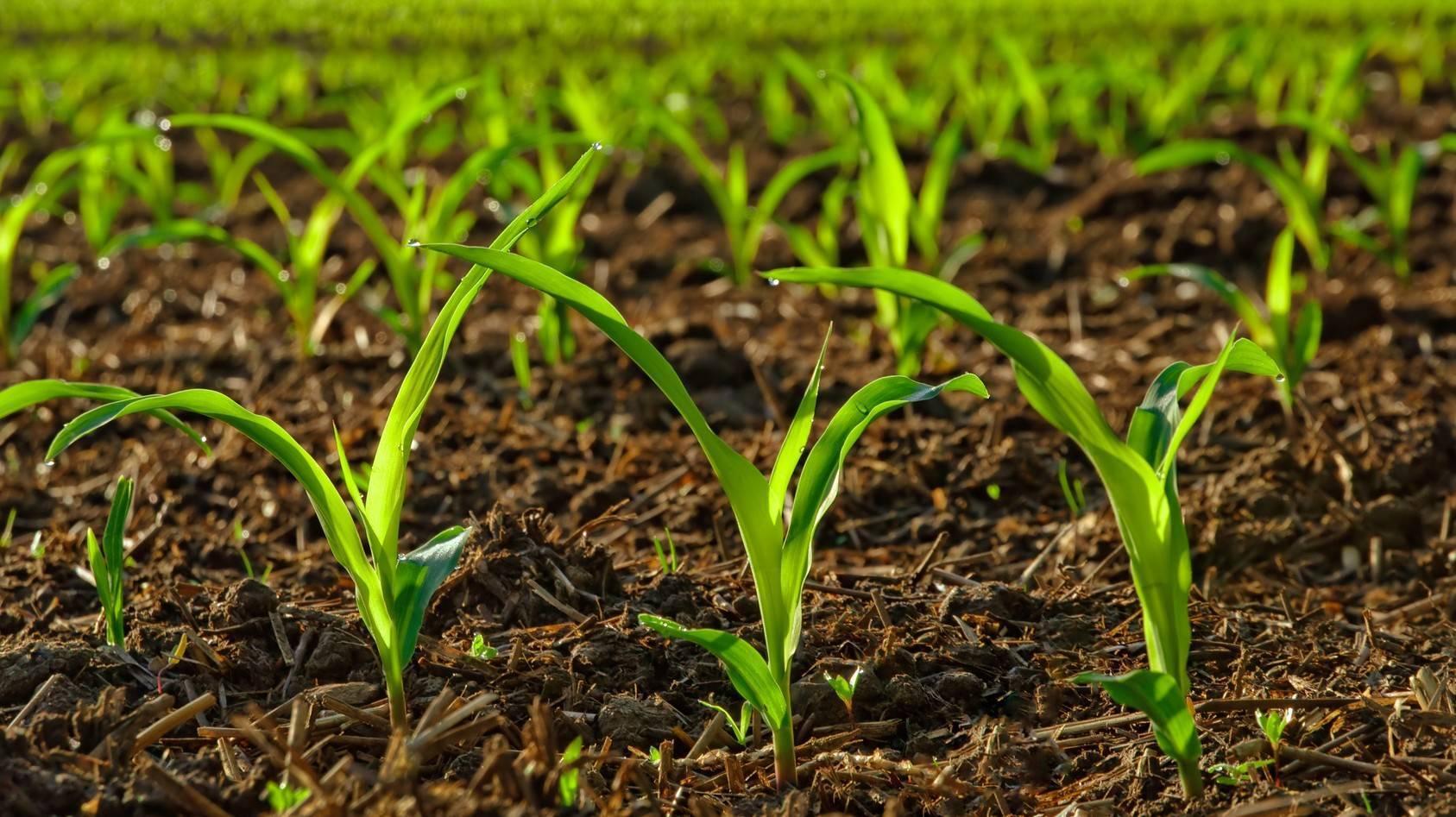 Незаменимый коровяк: как приготовить удобрение для огорода?