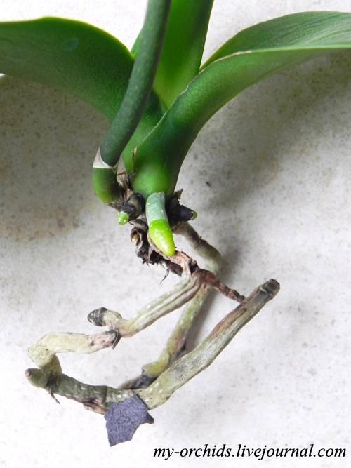 Выращивание фаленопсиса в закрытой системе: особенности посадки, полива и ухода