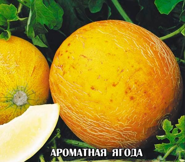 Выращивание арбузов на Урале в открытом грунте и теплице