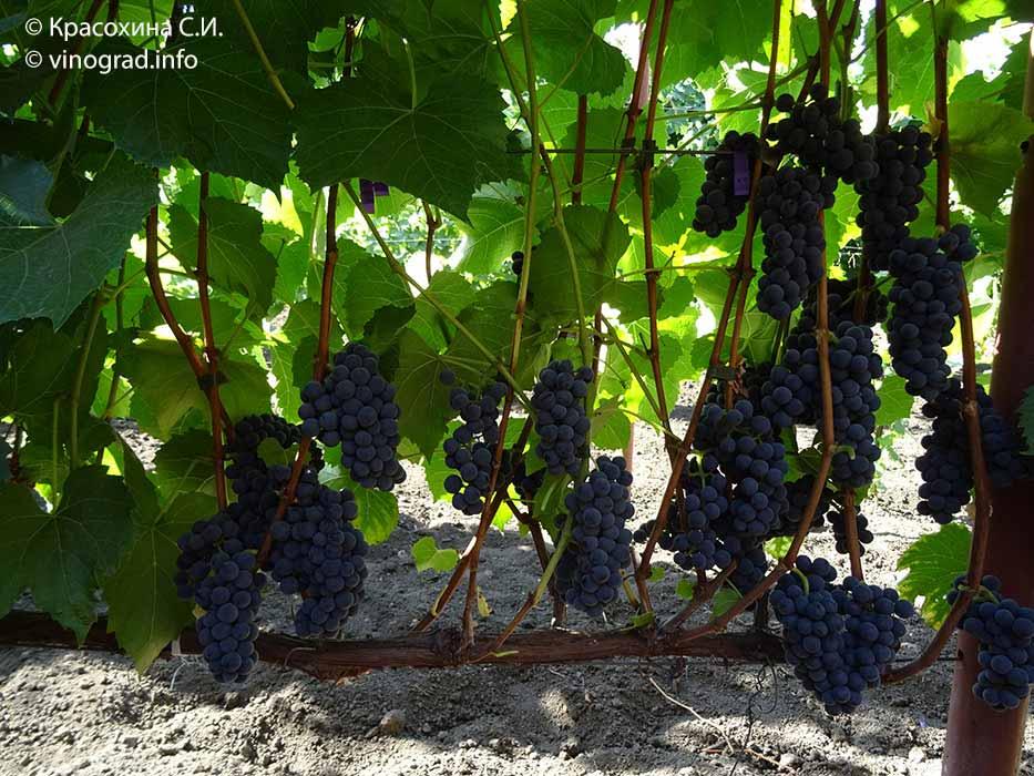 Сорт винограда «вэлиант»: описание, фото, селекция, особенности посадки и ухода