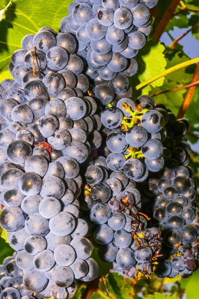 Виноград ливадийский черный: описание сорта, уход, выращивание, отзывы