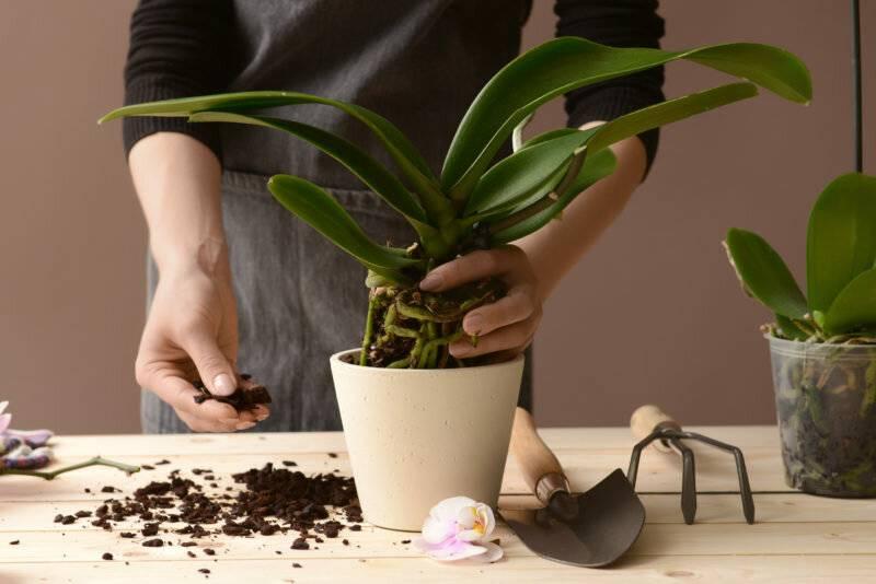Полив орхидеи во время цветения в домашних условиях: видео о том, можно и нужно ли, а также как часто это делать