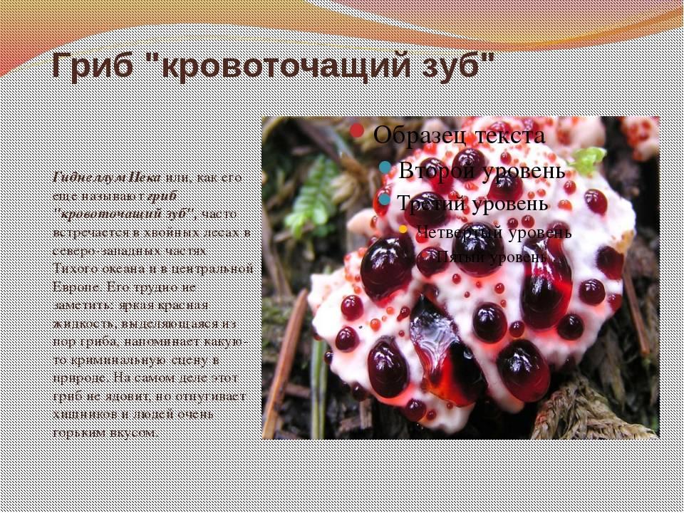 Где растет гриб кровавый зуб - дневник садовода parnikisemena.ru