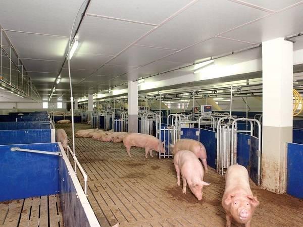 Свиноферма в домашних условиях • план, затраты и бизнес