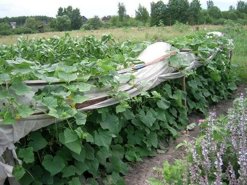 Как сажать огурцы в открытый грунт: какие сорта, посадка семенами, уход