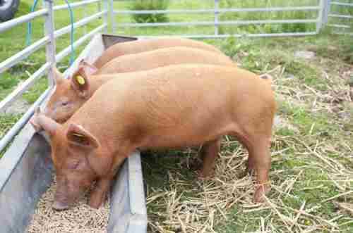 Кормовые добавки для свиней: обзор, отзывы