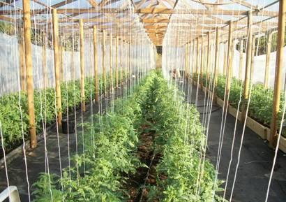 Правила подвязывания помидоров в теплицах