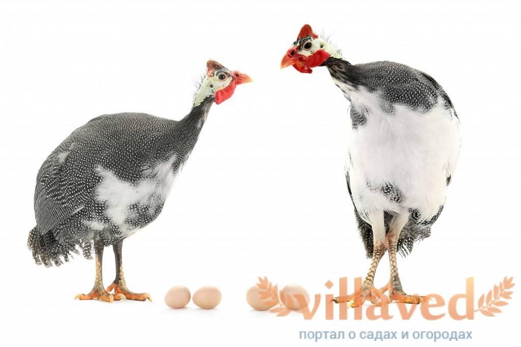 Срок высиживания яиц цесаркой