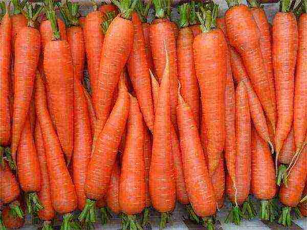 Как выращивать морковь в открытом грунте в подмосковье - сад и огород