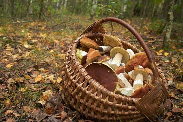 Нельзя собирать грибы у дороги: накапливают радиацию