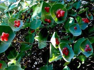 Жимолость павловская: описание сорта, отзывы садоводов о нём, рекомендации и советы по посадке и уходу