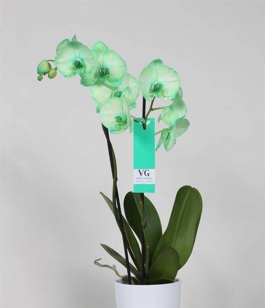 Белый фаленопсис: фото и описание орхидеи с белой губой, миди и других