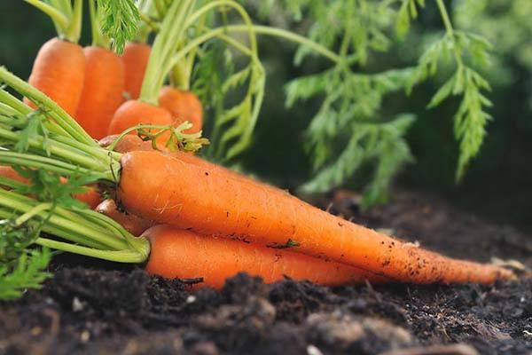 Как правильно проредить морковь на грядке и какое расстояние между всходами должно быть