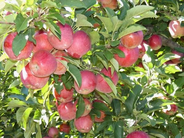 Плодосъемник для яблок: рассказываем развернуто