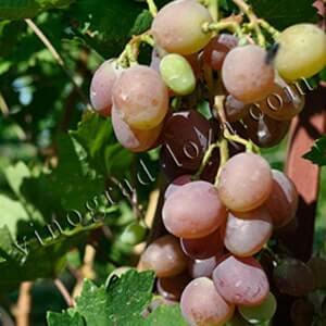 Виноград рута: описание сильнорослого растения, характеристика и нюансы ухода