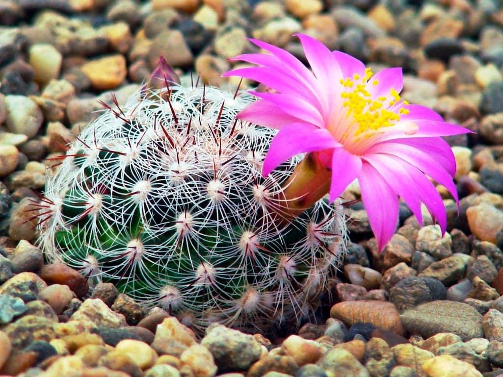 Красота и разнообразие в одном горшке — кактусы маммиллярия микс. особенности ухода