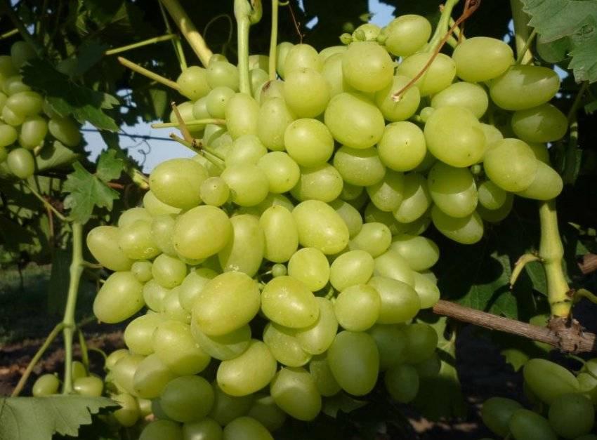 """Знаменитый виноград """"дарья"""" - описание сорта, фото, отзывы"""