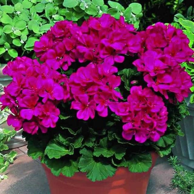 Можно ли пересаживать цветущую герань в домашних условиях