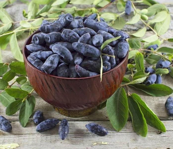 Жимолость «бакчарский великан»: описание и выращивание крупноплодного сорта